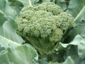 Broccoli close-up