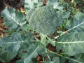 broccoli-03