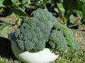 broccoli-04